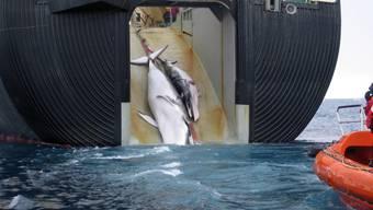 """Für die """"Walforschung"""": Ein japanisches Schiff zieht einen Zwergwal und dessen Kalb an Bord (Archiv)."""