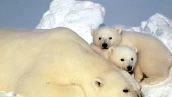 Das EU-Parlament will Eisbären in Zukunft besser schützen (Archiv)