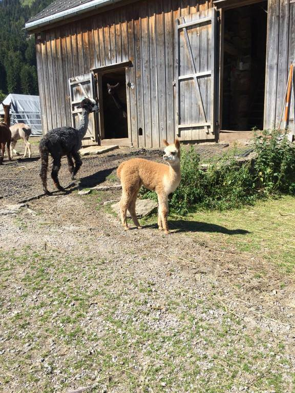 Die Alpakas und andere Tiere auf Haesi's Hof (© FM1Today)