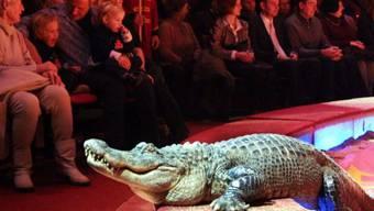 Ein Krokodil während einer Aufführung im Zirkus (Symbolbild)