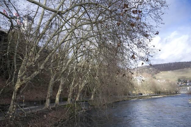 Die Platanen am Limmatufer in Baden wurden 1832 von Häftlingen gepflanzt. Ursprünglich standen auf beiden Seiten des Weges Bäume.
