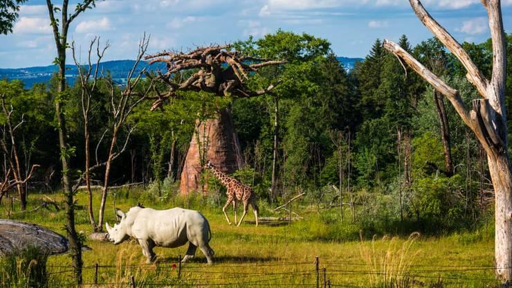 Breitmaulnashorn und Netzgiraffe in der Lewa Savanne im Zoo Zürich