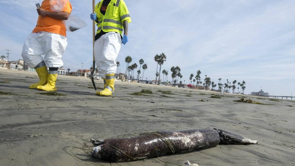 dpatopbilder - Arbeiter in Schutzanzügen gehen an einem Strand in Newport Beach, Kalifornien, vorbei, an dem tote Meerestiere nach einer Ölpest angespült wurden. Knapp eine Woche nach dem Auslaufen des Öls vor der südkalifornischen Küste ist das Ausmaß der Verschmutzung noch nicht bekannt. Foto: Ringo H.W. Chiu/AP/dpa