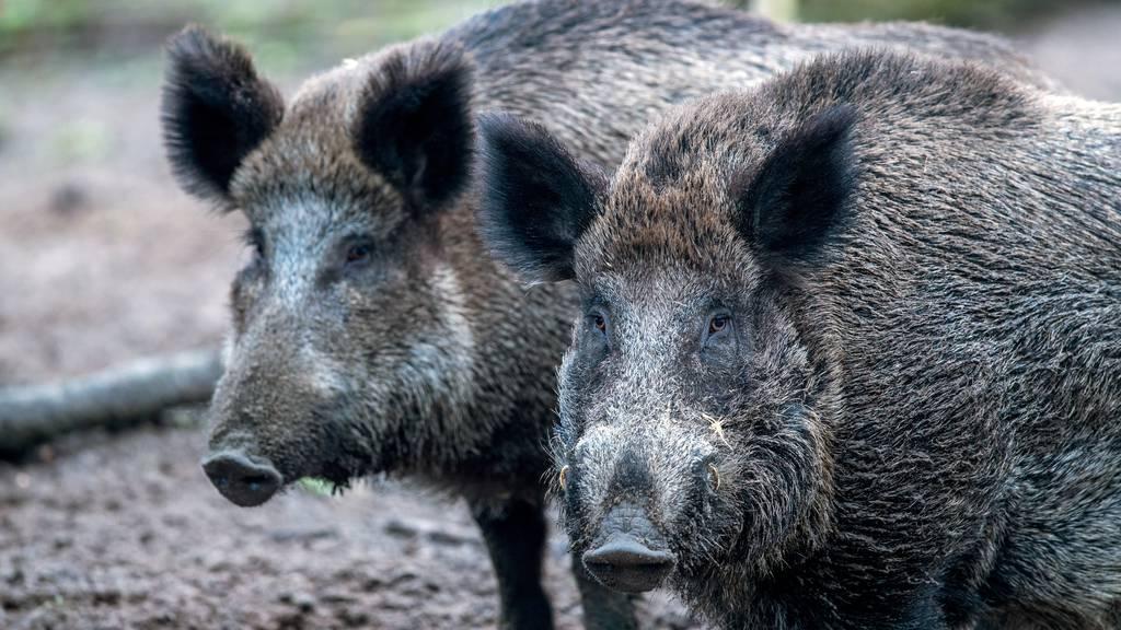 «Hohes Risiko»: Nach Coronalockerungenwarnt Bund vorder Schweinepest