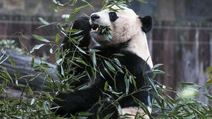 Erfolg für den Artenschutz: Der Grosse Panda gilt nicht mehr als vom Aussterben bedroht. Die Experten führen den Erfolg auf die Aufforstung von Bambuswäldern in China sowie die Leihgabe von Pandas zur Fortpflanzung an Zoos zurück. Nach jüngsten Schätzungen leben derzeit 1864 Pandabären in freier Wildbahn. In den 1980er Jahren, zum Tiefpunkt der Panda-Zahlen, waren es weniger als 1000 Tiere. Trotzdem ist die Tierart auf der Roten Liste noch immer als «gefährdet» eingestuft.