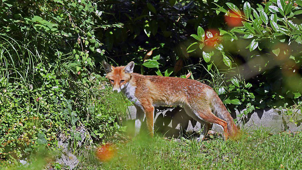Fuchs dringt in gesichertes Gehege ein