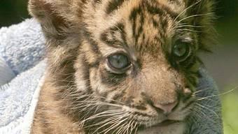Ein Sumatra-Tiger-Baby (Archiv)