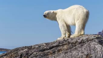 Der Eisbär ist eines der grössten Raubtiere und sieht im Menschen eine potenzielle Beute.