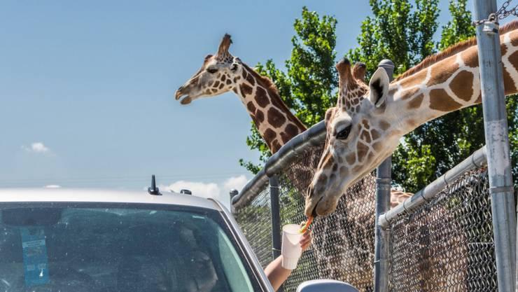 Besucher füttern Giraffen im vom Brand betroffenen Wildtierpark im US-Staat Ohio. (Archivbild)