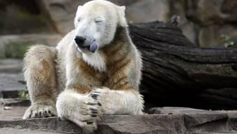 Eisbär Knut mit drei Jahren.