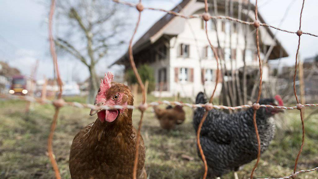 Hühner erfreuen sich in der Schweiz als Fleisch- und Eierlieferanten einer immer grösseren Beliebtheit. (Archivbild)