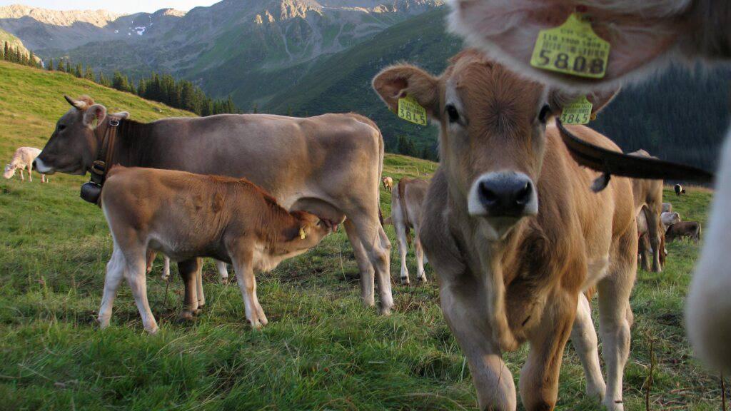 Nicht anfassen: Kühe sind an sich friedliche Wesen, sie verteidigen aber ihre Kälber und können für Wanderer gefährlich werden. (Archivbild)