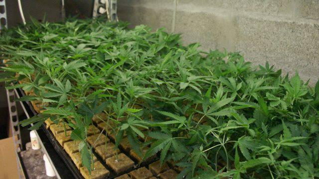 Eine Indoor-Hanfplantage (Symbolbild)