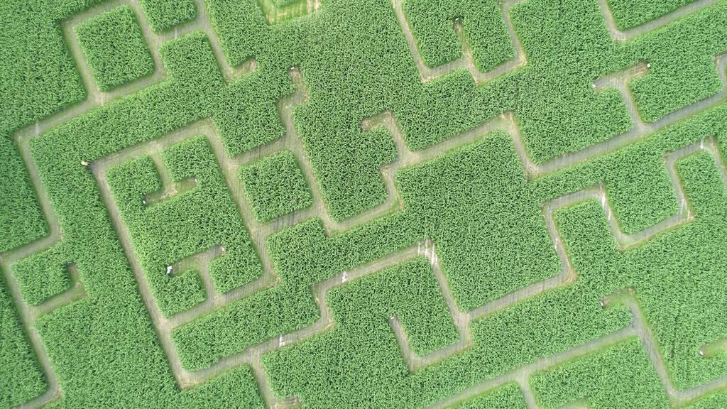 Aus der Not: Auch im Rheintal steht jetzt ein Maislabyrinth