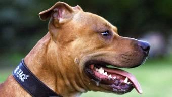 Pit Bull Terrier ist einer der Hunderassen die angemeldet werden müssen.