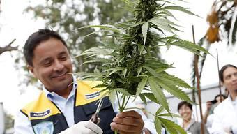 Alles legal: Bürgermeister von La Florida erntet Marihuana