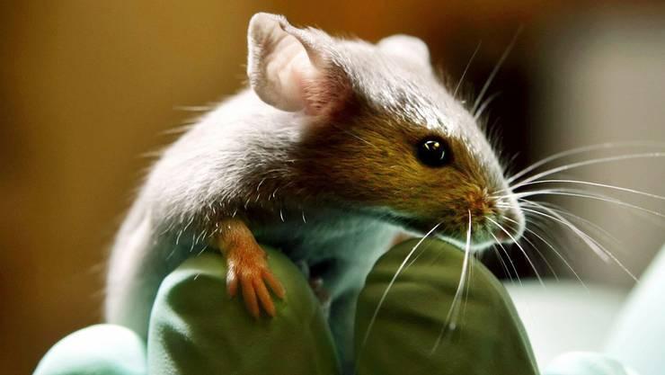 Für die meisten Tierversuche müssen Mäuse herhalten.