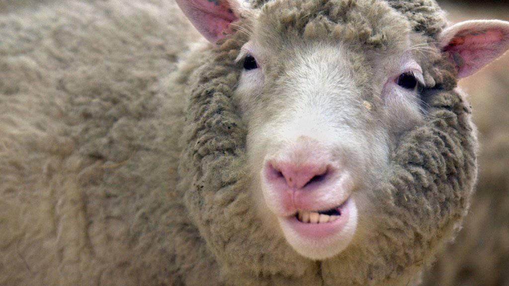 Das berühmte Klonschaf Dolly kränkelte und starb früh. Das frühzeitige Altern wurde dem Klonprozess zugeschrieben. Allerdings altern genetisch identische Kopien von Dolly normal, wie eine neue Studie zeigt. (Archivbild)