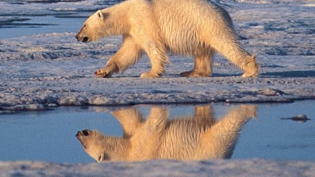 Ein Eisbär in einer Schutzzone in Alaska (Symbolbild, Archiv)