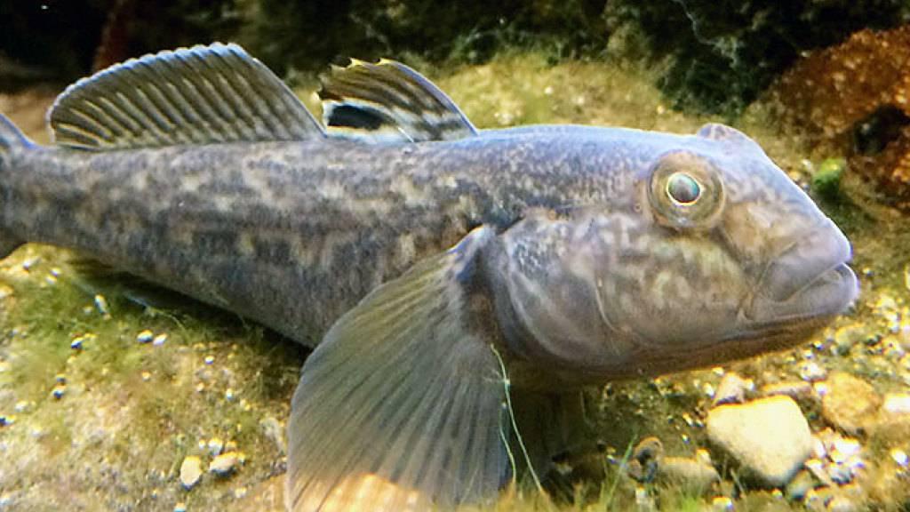 Schön ist sie nicht, die Schwarzmund-Grundel, aber ihre Fähigkeit, sich auszubreiten, sucht ihresgeichen. Forscher haben nun herausgefunden, dass diese Fischart unter anderem ein mehrfach genetisch abgesichertes Immunsystem hat. (zVg)