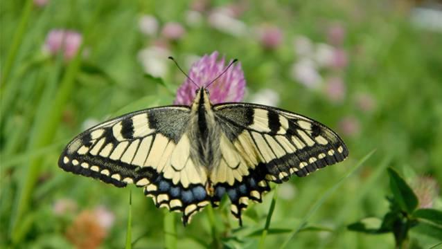 Schmetterlinge sollen vom Holzschlag profitieren (Symbolbild).