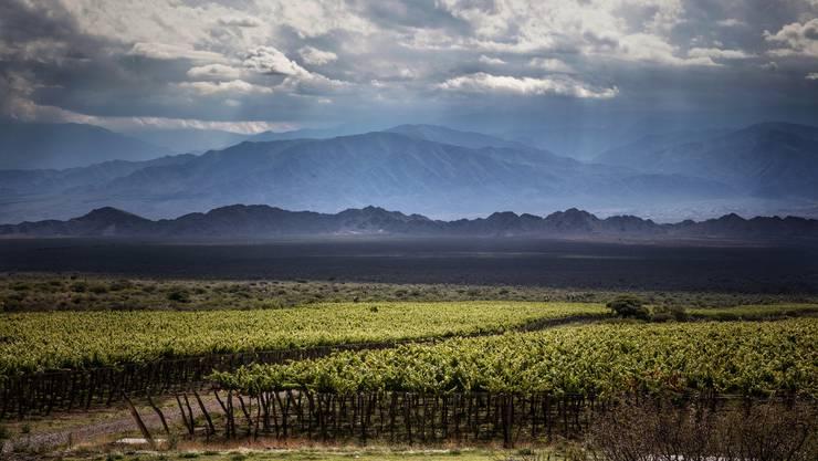 Die Reben in karger Landschaft auf bis zu 3111 Metern über Meer, wie hier im Calchaquies-Tal, in der argentinischen Provinz Salta, ergeben meist sehr charaktervolle Weine.