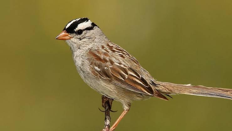 Die Dachsammer (Zonotrichia leucophrys) ist ein in Nordamerika heimischer Zugvogel. Über Samen nimmt das Tier auch Pestizide auf.