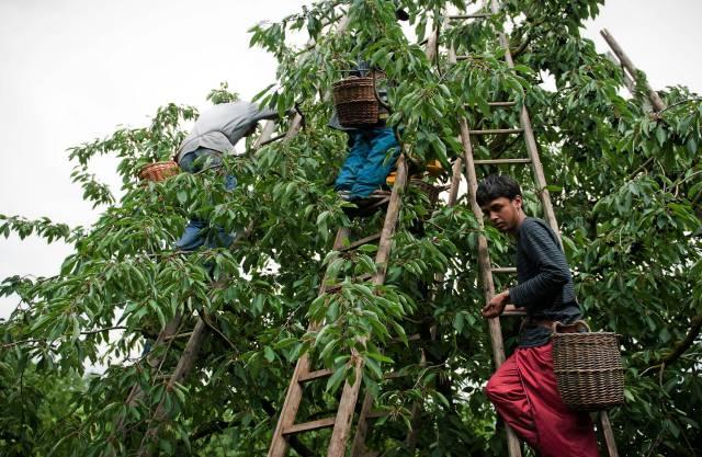 Ohne die Helfer aus der Fremde müssten viele Landwirte ihre Hochstämmer fällen