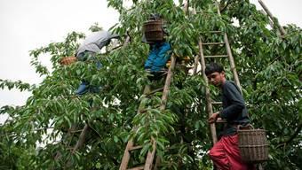 Asylbewerber retten Hochstammbäume