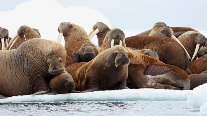 Das Elfenbein der Walross-Stosszähne war begehrt.Bild: HOGP/Key