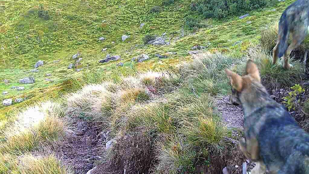 Die beiden Jungwölfe aufgenommen von der Fotofalle.