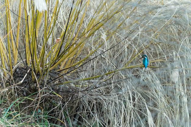 Der Eisvogel sitzt am liebsten am Kormoranweiher und lauert auf Beute.