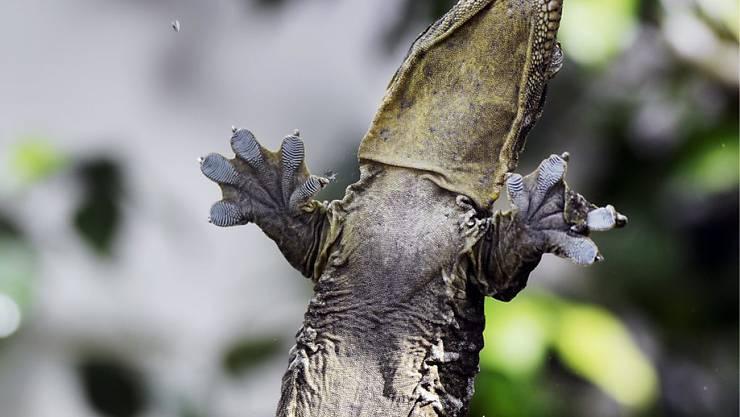 Geckos sind die grössten Tiere, die so an einer Scheibe hinauflaufen können. Ein Mensch bräuchte unmöglich grosse Füsse.