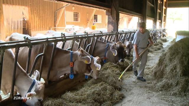Milchkühen in Uitikon droht wegen Dürre der Schlachthof
