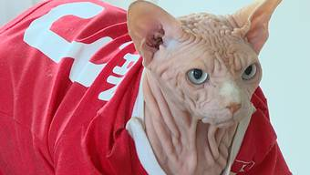 WM-Orakel: So geht laut Sphinx-Kater Xherdan das Spiel Schweiz – Costa Rica aus.