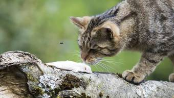 Baselland schickt Katzen offiziell auf Mäusejagd. (Symbolbild)