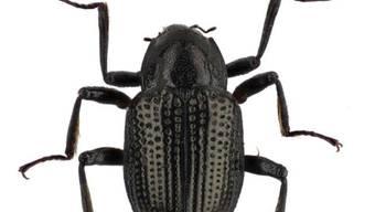 Neuentdeckter Käfer wird nach Leonardo DiCaprio benannt.