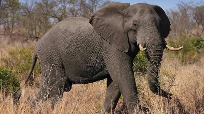 Ein Afrikanischer Elefant im Kruger National Park in Südafrika. Der Handel mit Elfenbein soll weiter verboten und Elefanten damit geschützt bleiben. (Archivbild)