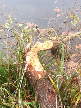 Vor allem junge Weiden fielen dem pelzigen Nager zum Opfer.