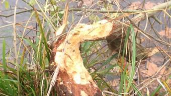 Biber knabbert an über 20 Bäumen beim Kappisee