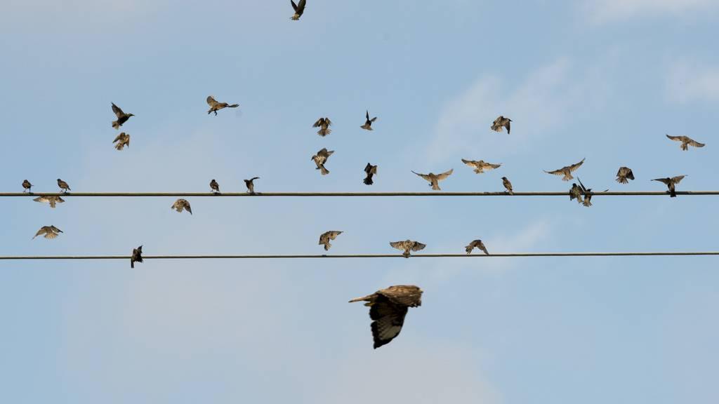 Diese Vögel gelten im Aargau als gefährdet
