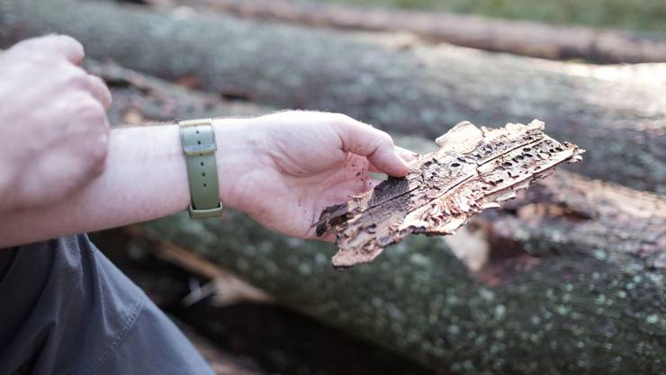 Rinde eines aufgrund von Borkenkäferbefall bereits abgestorbenen Baumes.