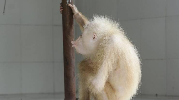 Der kürzlich in Indonesien entdeckte Albino-Orang-Utan heisst nun Alba. (Archivbild)