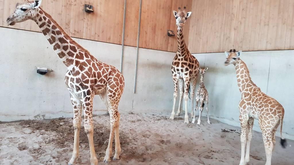 Das kleine Giraffenbaby ist kurz nach der Geburt schon putzmunter.