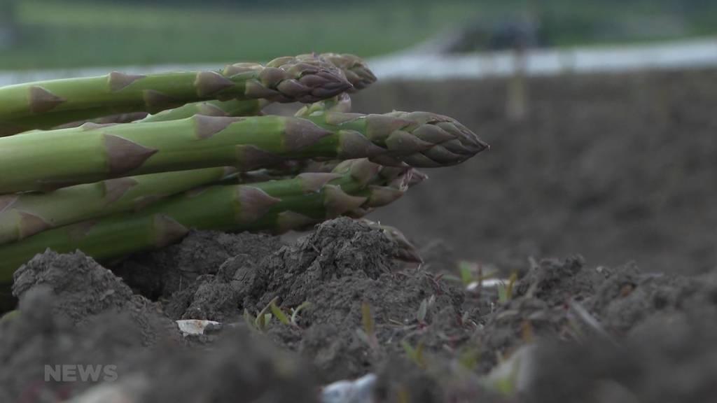 Spargelsaison 2021 fällt mager aus: Nasses und kaltes Mai-Wetter halbiert die Ernte