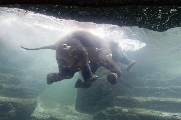 Neuer Elefantenpark im Zoo Zürich eröffnet