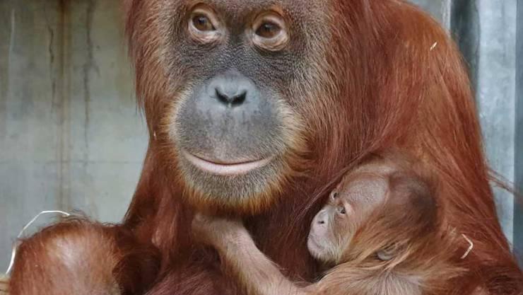 """Unerwartete Schwangerschaft, unbekannter Vater: Affen-Mutter Cahaya mit ihrem jüngsten Nachwuchs Utu (""""Floh"""")."""