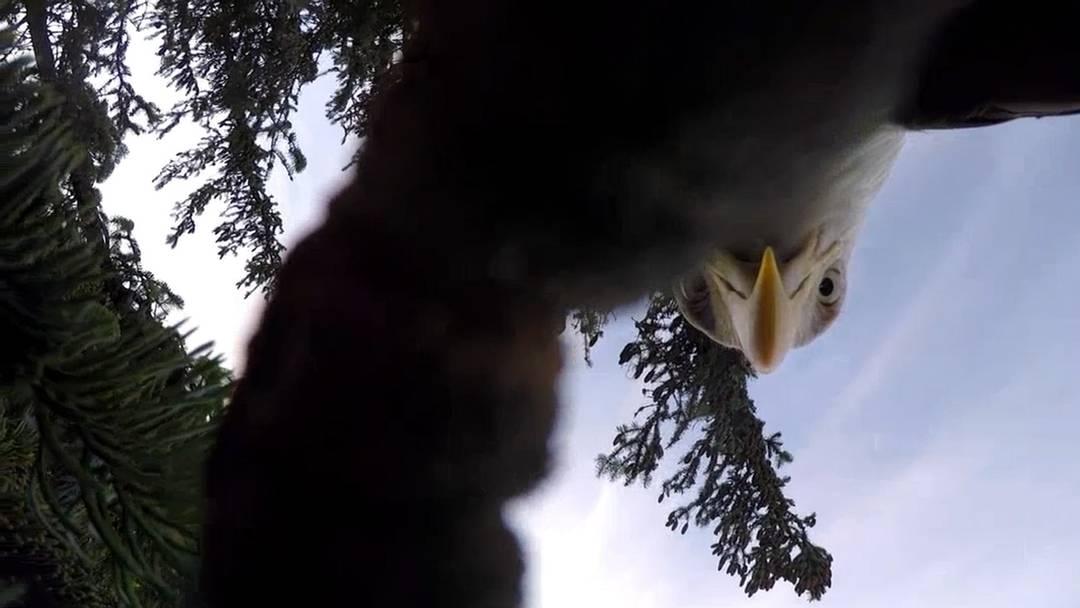 Er wollte einen Greif-Vogel filmen – doch dann ergriff der Adler die Kamera