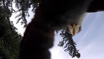 Der Adler holte sich den Lachs – und die Kamera.