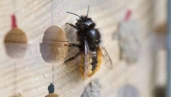 Die verstärkten Massnahmen für die Gesundheit der Bienen (auf dem Bild eine Wildbiene) zeigen ihre Wirkung. Das zeigt ein vom Bundesrat genehmigter Bericht. (Archivbild)